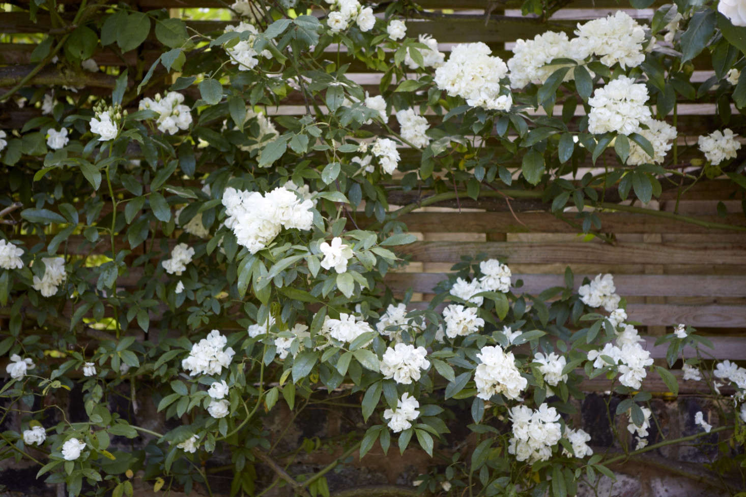 Rosa 'Madame Alfred Carriere' scrawls laterally along the horizontal slats of the perimeter fence.