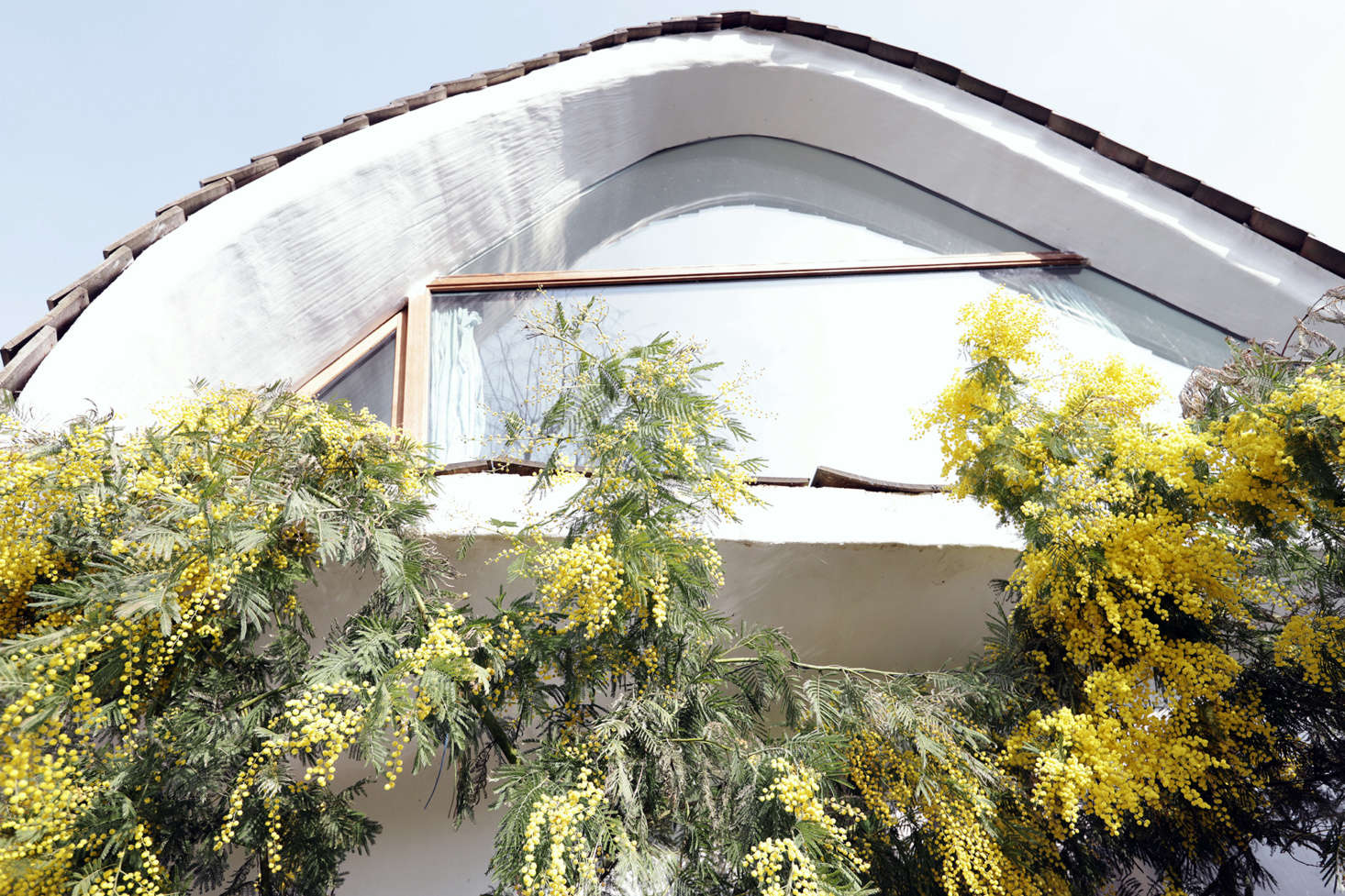 The mimosa tree in full bloom nearly reaches the top of the house.