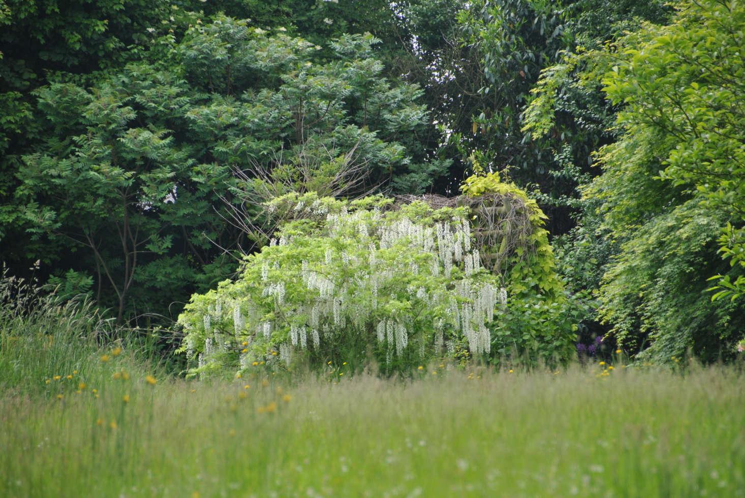 White wisteria. Photograph by Jean Jones via Flickr.