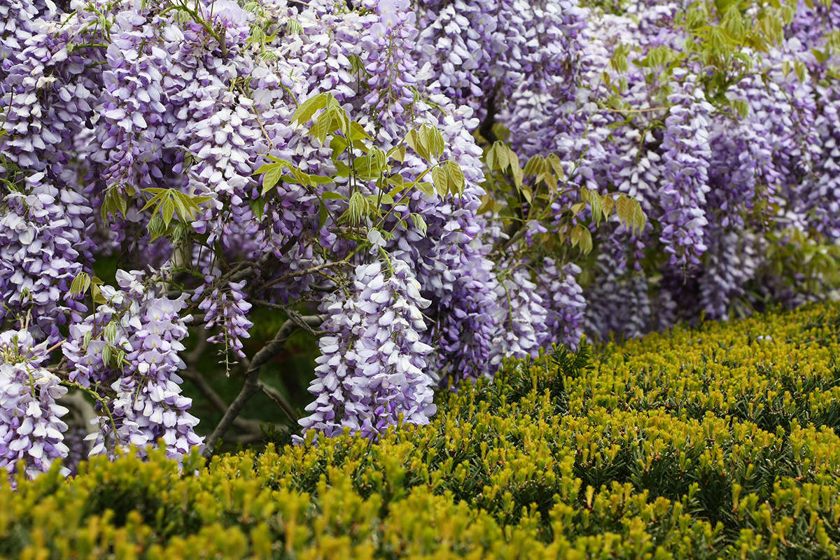 Perfumed like musky grapes, the gorgeous blossoms of wisteria have a luscious texture as well as a typical raw legume sweetness.