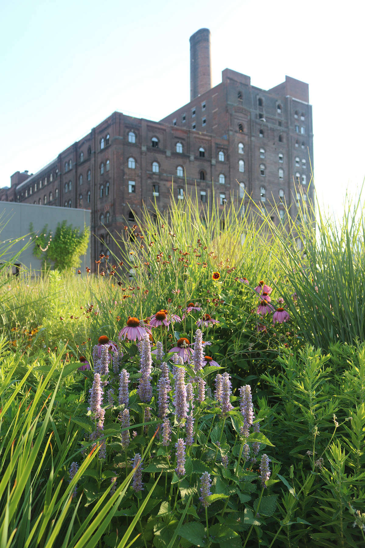 Against the backdrop of the Domino Sugar Refinery (whose entire complex was once the largest sugar refinery in the world),agastache, echinacea, and tickseed (coreopsis) bask in the hot summer sun.