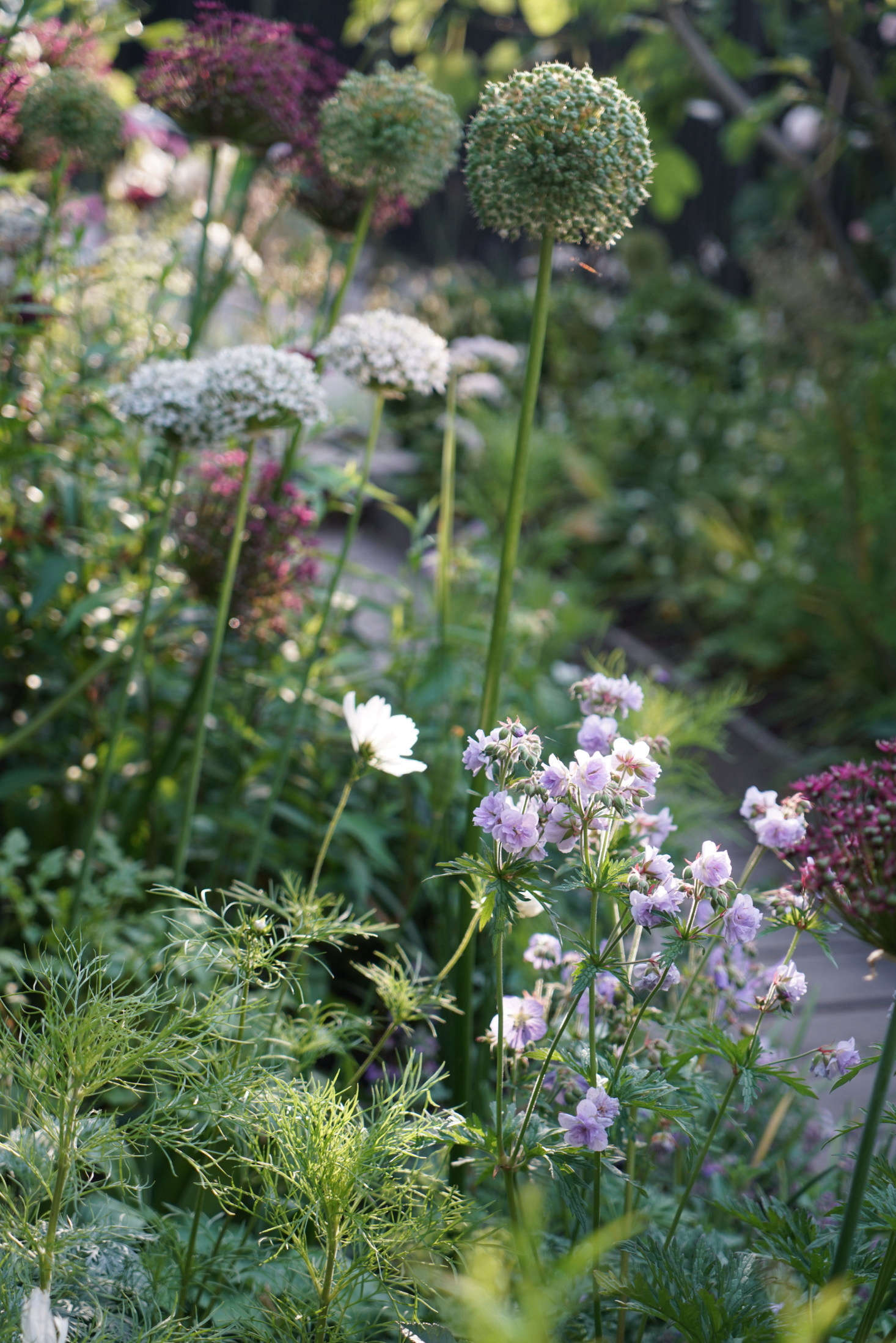 Allium varieties include A. nigrum, 'Mount Everest', and A. atropurpureum.