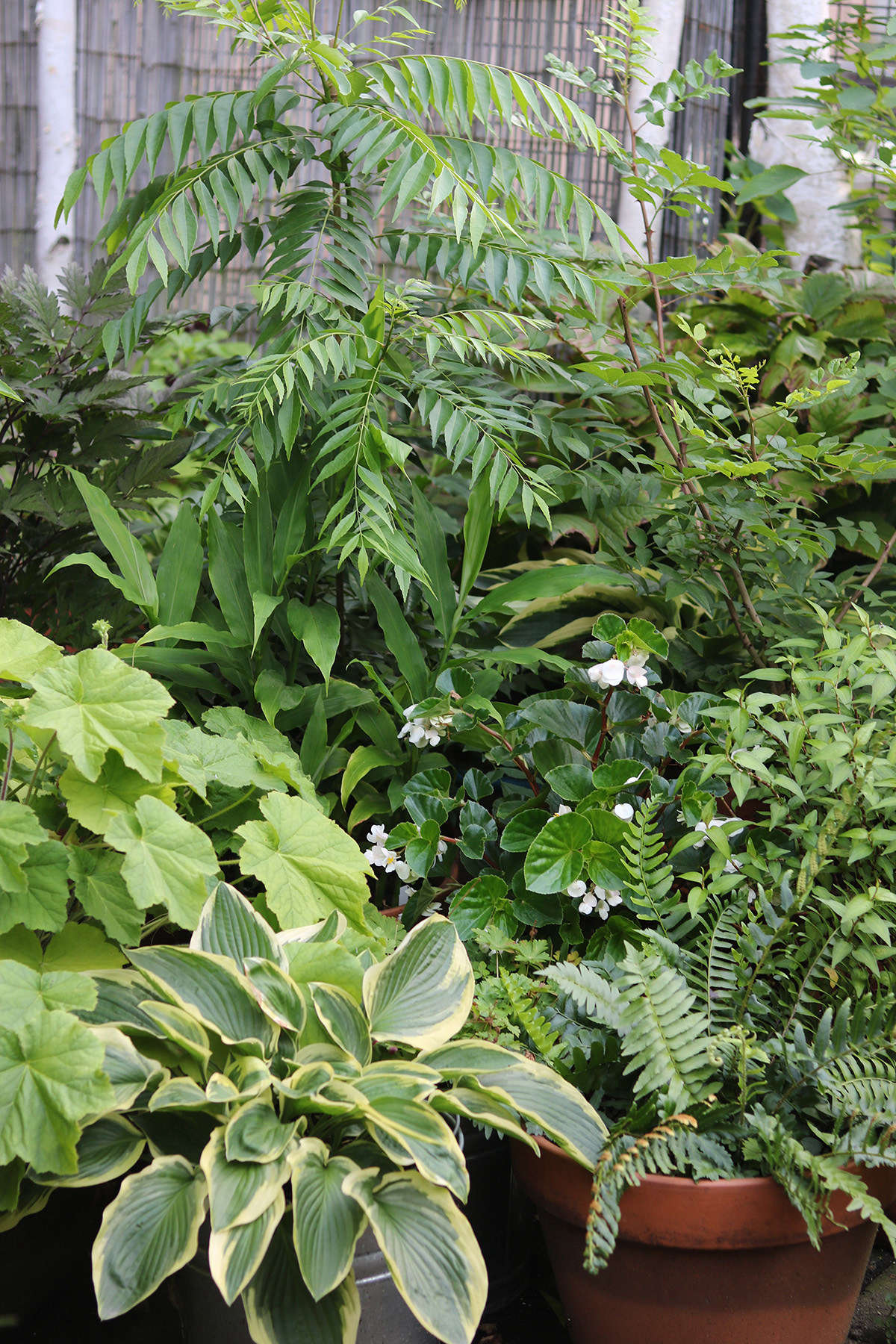 Sub tropical edibles share space with more familiar shade lovers like hostas, native ferns, heucheras and snakeroot, and begonias. The curry leaf tree (center, rear, with pinnately compound leaves) loves humid summers and puts out lush new growth after an indoor winter.