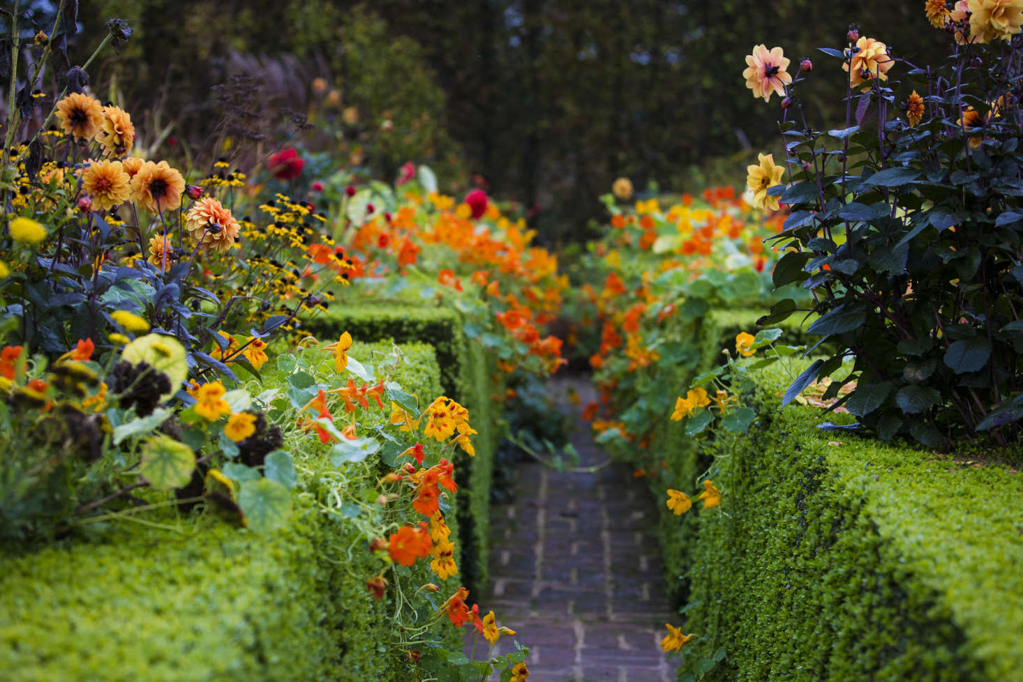 Nasturtiums undermine the formality of the Summer Garden.