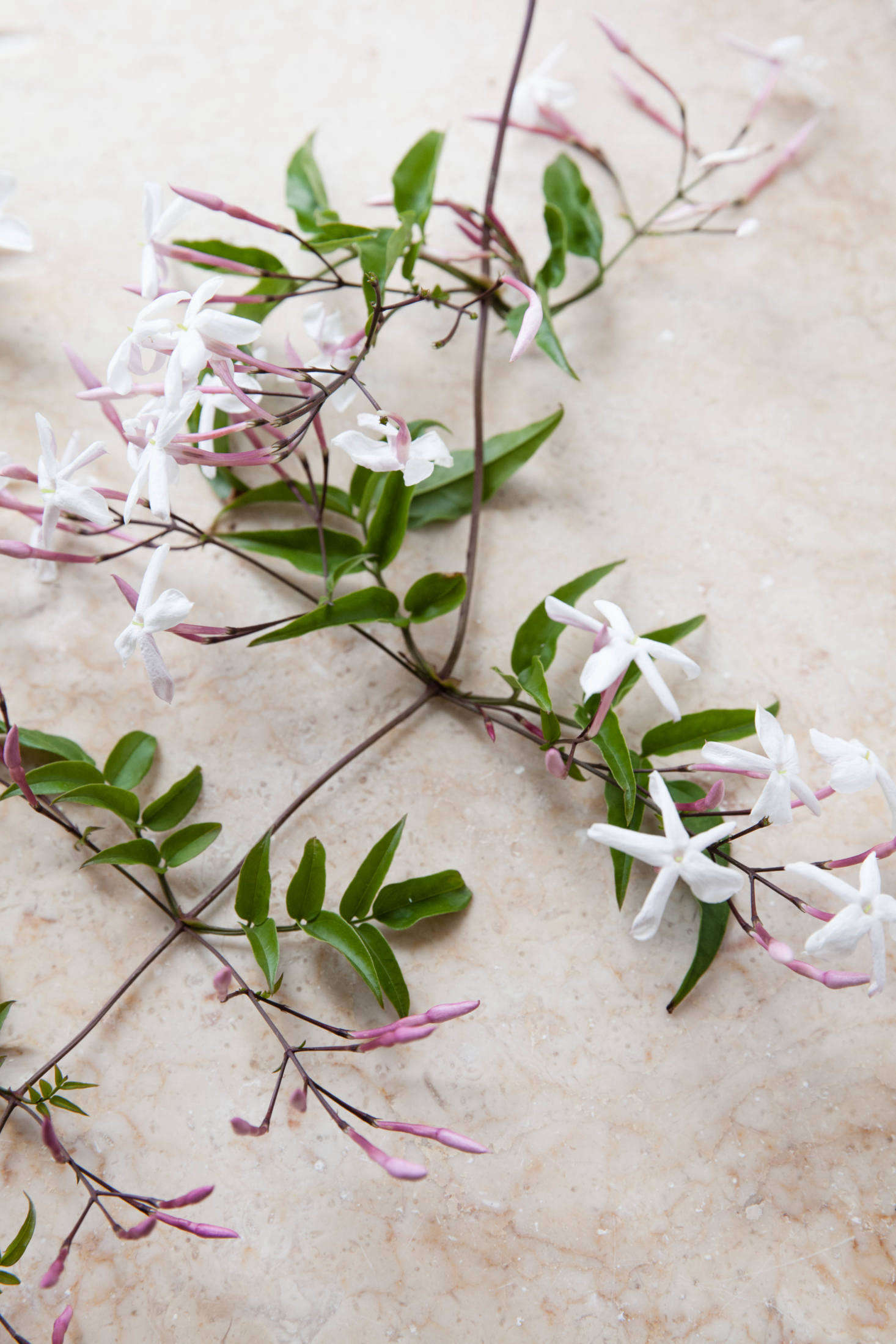 Rethinking jasmine the perfect vase for a fragrant flowering vine the star shaped flowers emit a heady fragrance that can induce headaches to even the izmirmasajfo