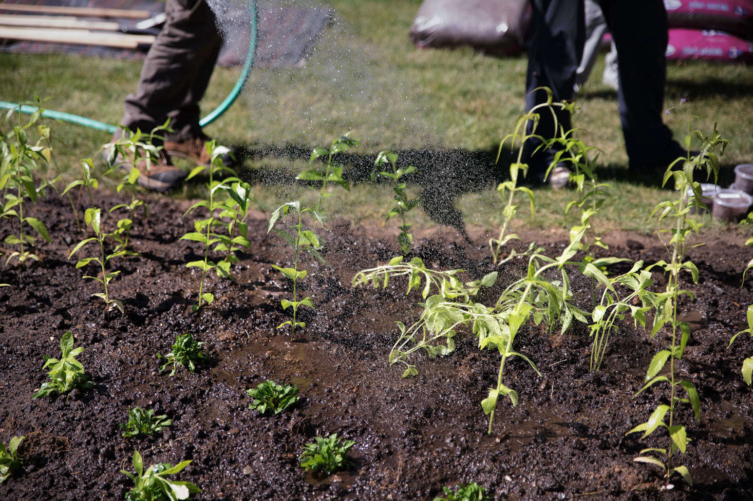 The team from New England Wild Flower Society recommends that you keep your plants moist on planting day. A layer of mulch after you water will help maintain moisture.