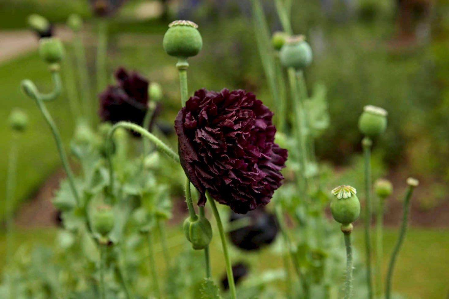Gardening 101 opium poppy gardenista double varieties of black opium poppy include papaver somniferum black beauty and black mightylinksfo