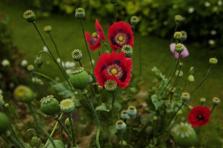 Gardening 101 opium poppy gardenista mightylinksfo