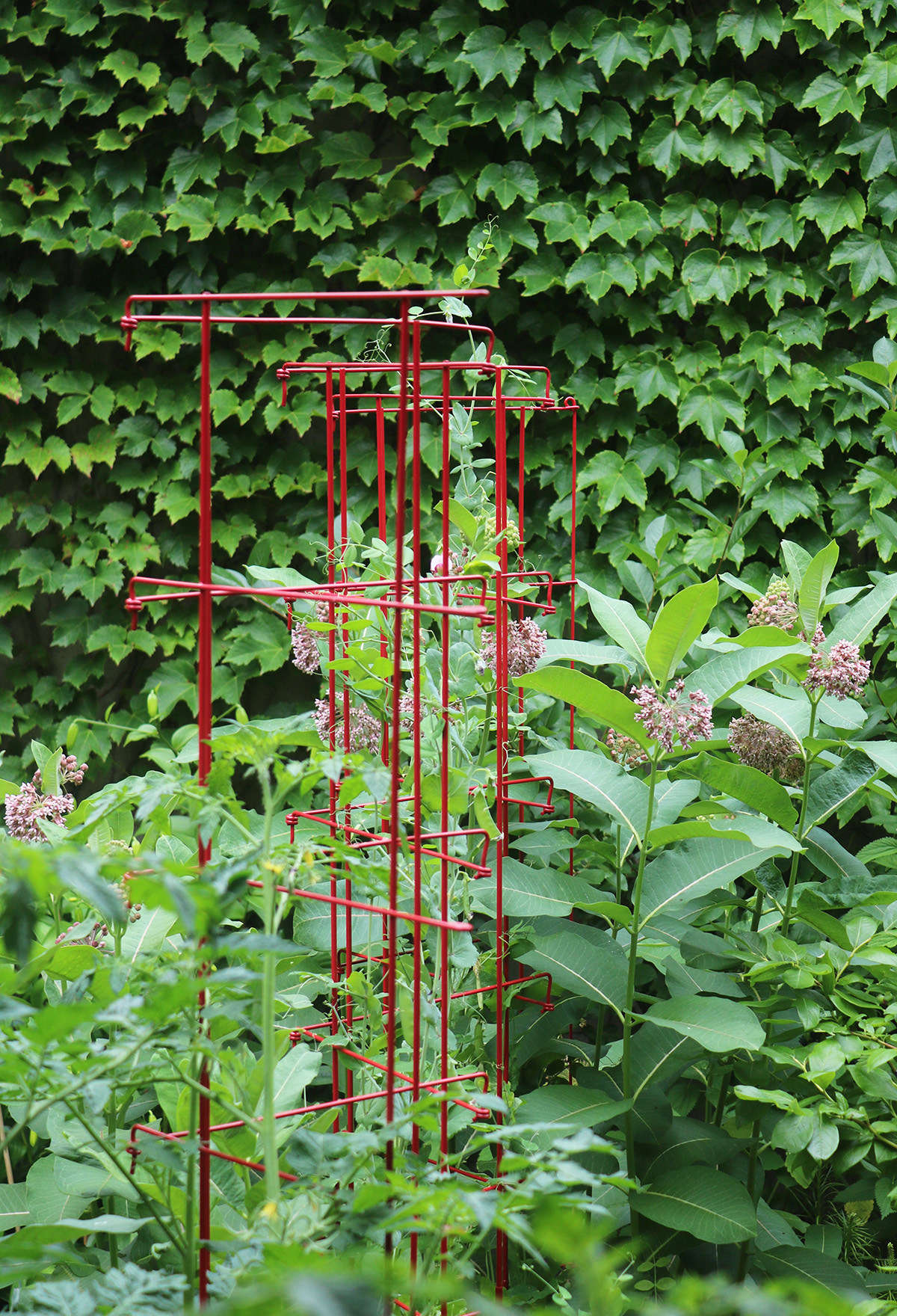 Because milkweed can grow very tall I planted peas nearby so that the legumes and the milkweed could share an expandable pea trellis for support. The peas also fix nitrogen, cutting down on the need for additional fertilizer. An Expandable Pea Trellis is $48.89 from Gardener&#8