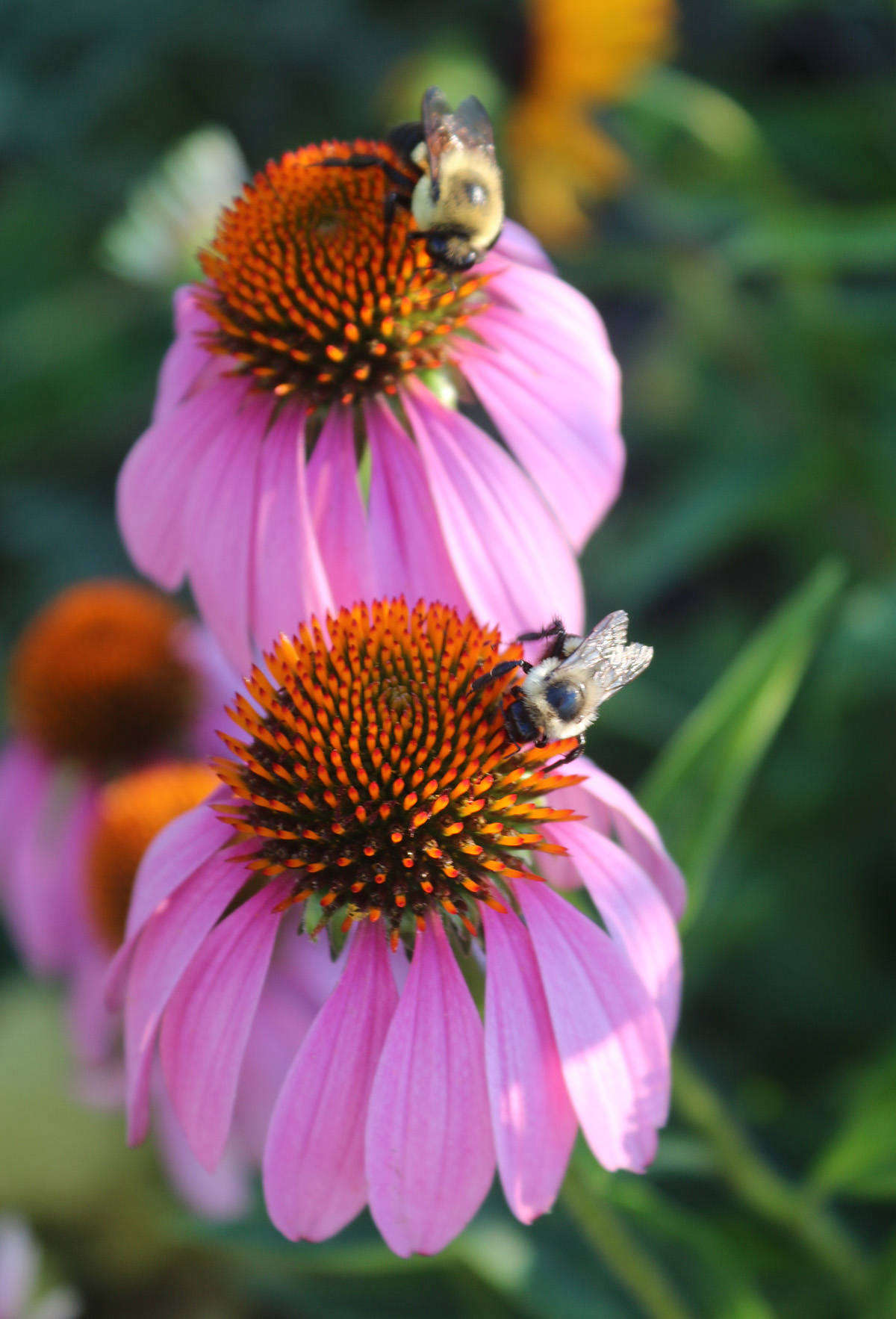 Attracting bees and beneficial insects boosts local biodiversity.