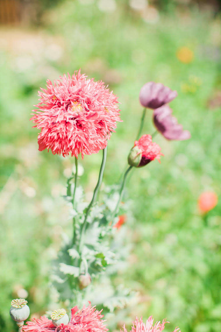 Frilly pompom poppies. To grow your own from seed, a packet of 0 seeds of Papaver Somniferum &#8