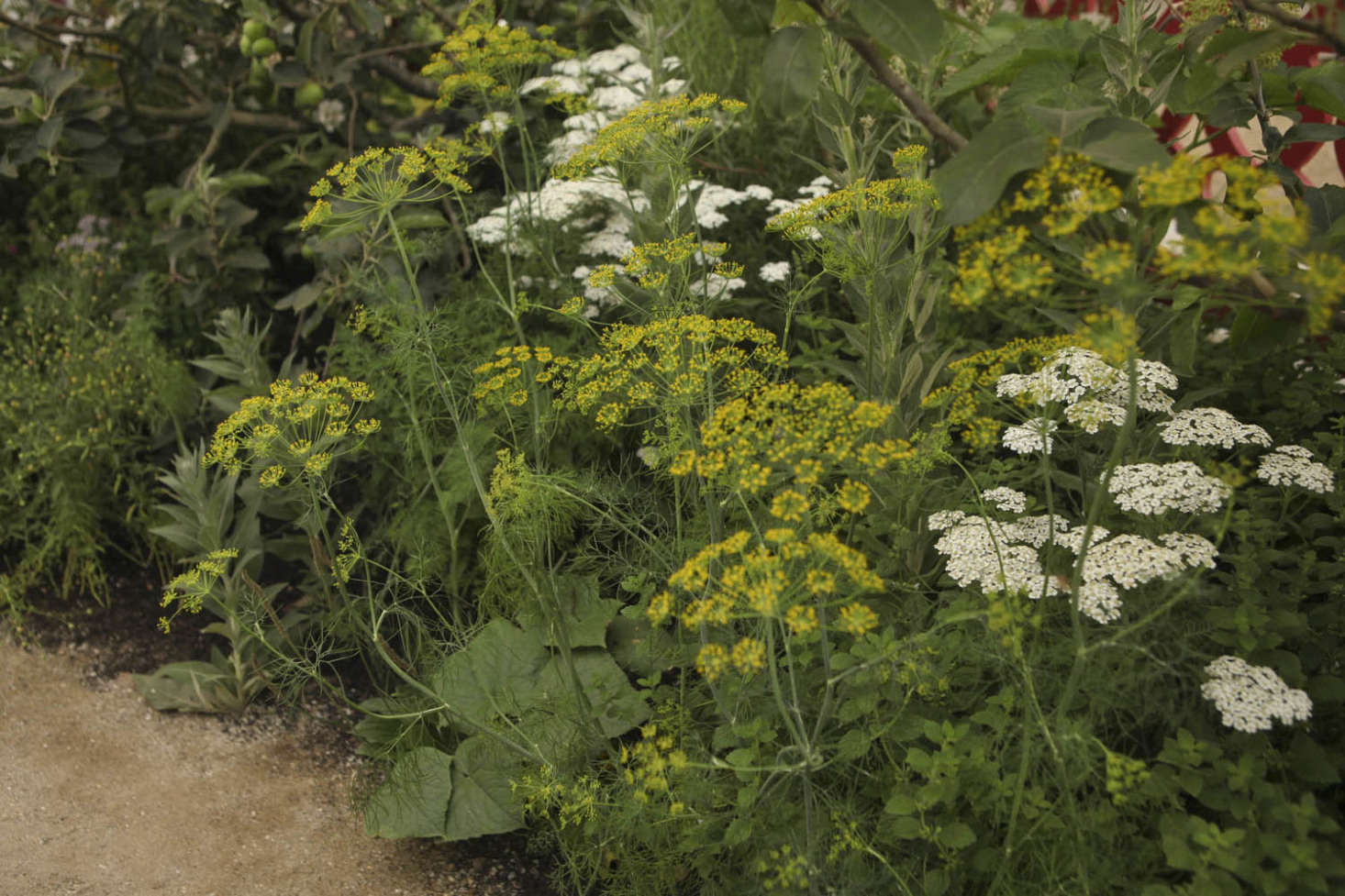 Dill, a natural insect-repelling plant, blooms above cucumbers.Photograph by Jim Powell for Gardenista, fromsrc=