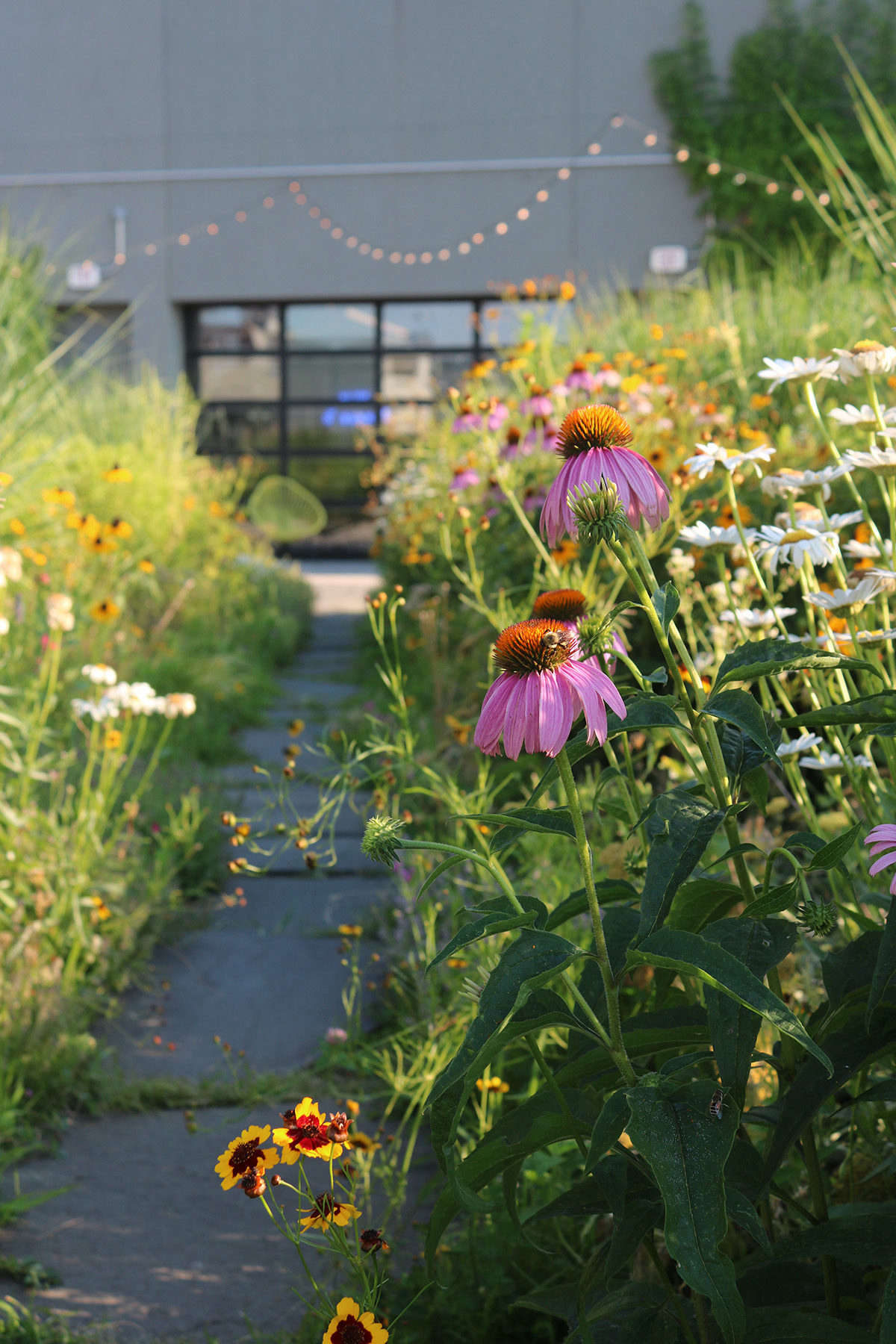 Just eight inches of planting depth (using green roof media designed by Rooflite) supports this intensive and thriving plant community. Irrigation is used, but kept to a minimum.