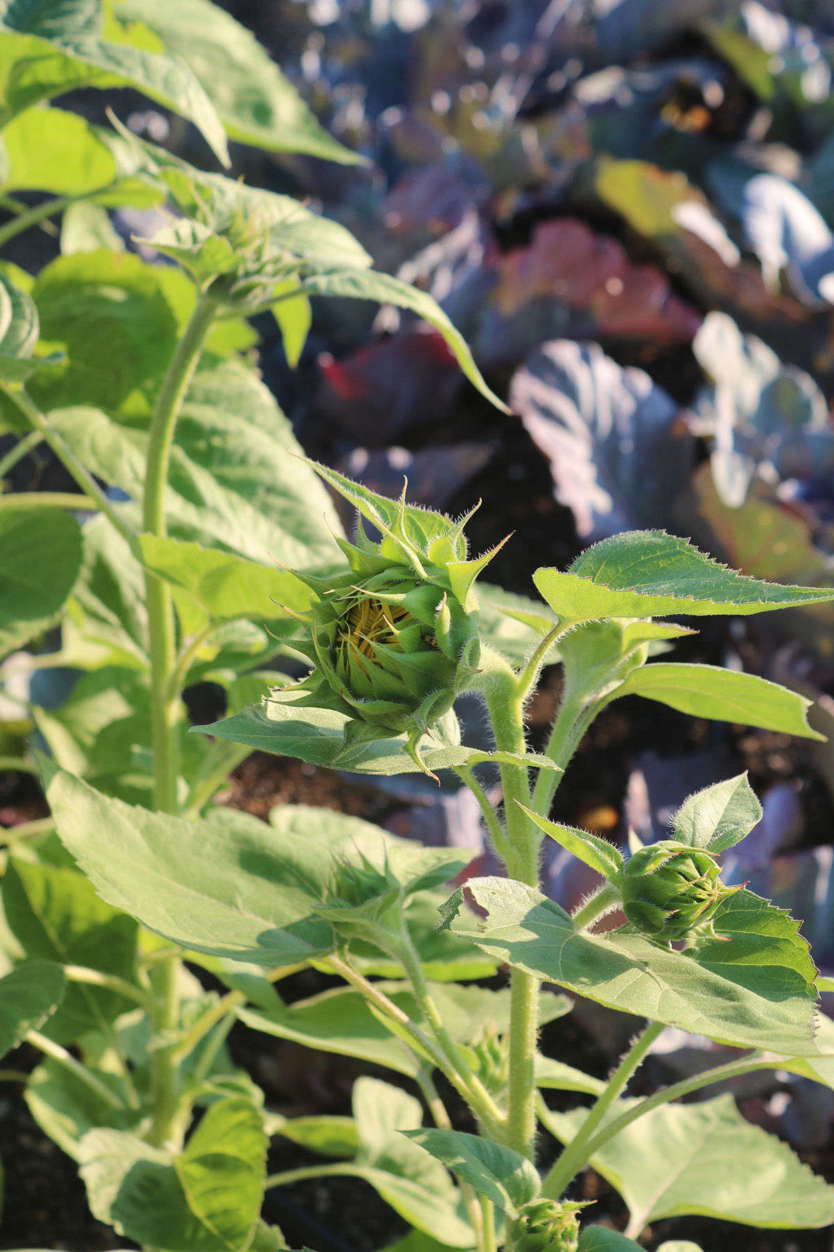 In the vegetable garden beds, brassicas share space with sunflowers (planted in part to feed snacking migratory birds, while some studies have shown that they might be a good trap crop).