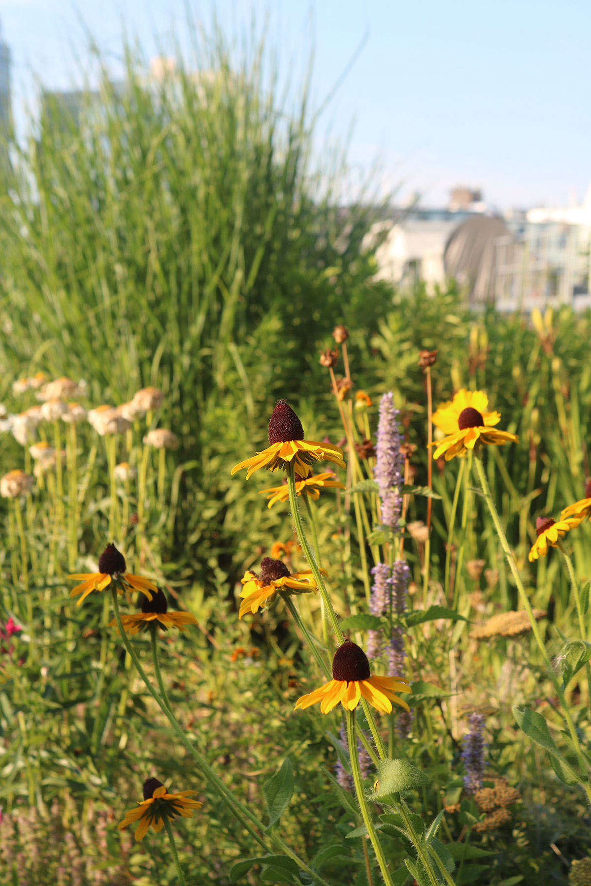 Resilient rudbeckia is a stand-out and long-blooming choice for full-sun gardens.