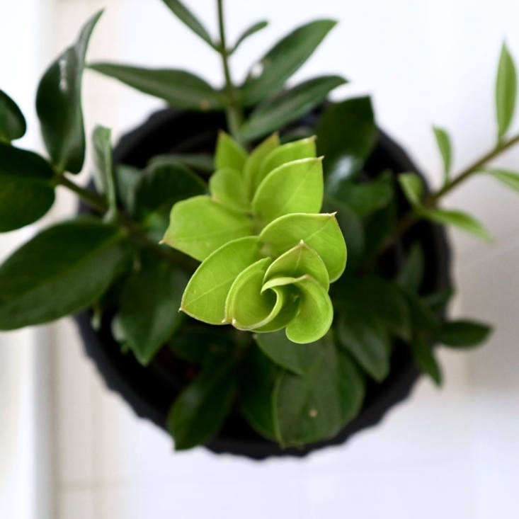 Everything You Need to Know About ZZ Plants - Gardenista on african violets care, dwarf umbrella tree care, pets care, plant care, geraniums care, flower care, landscaping care,