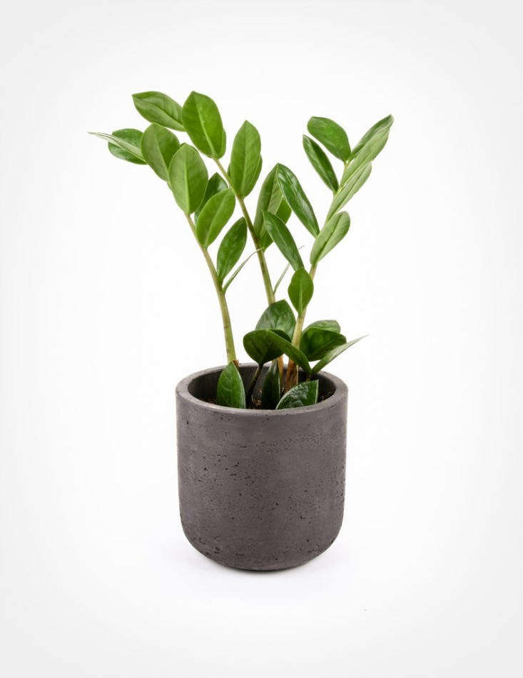 Everything You Need to Know About ZZ Plants - Gardenista on plant home, plant irrigation, plant plants, plant cats, plant nature, plant furniture, plant water, plant hydroponics, plant fertilizers, plant animals, plant pruning, plant landscape, plant roses, plant pottery, plant nursery, plant flowers, plant propagation, plant soil, plant grass, plant garden,