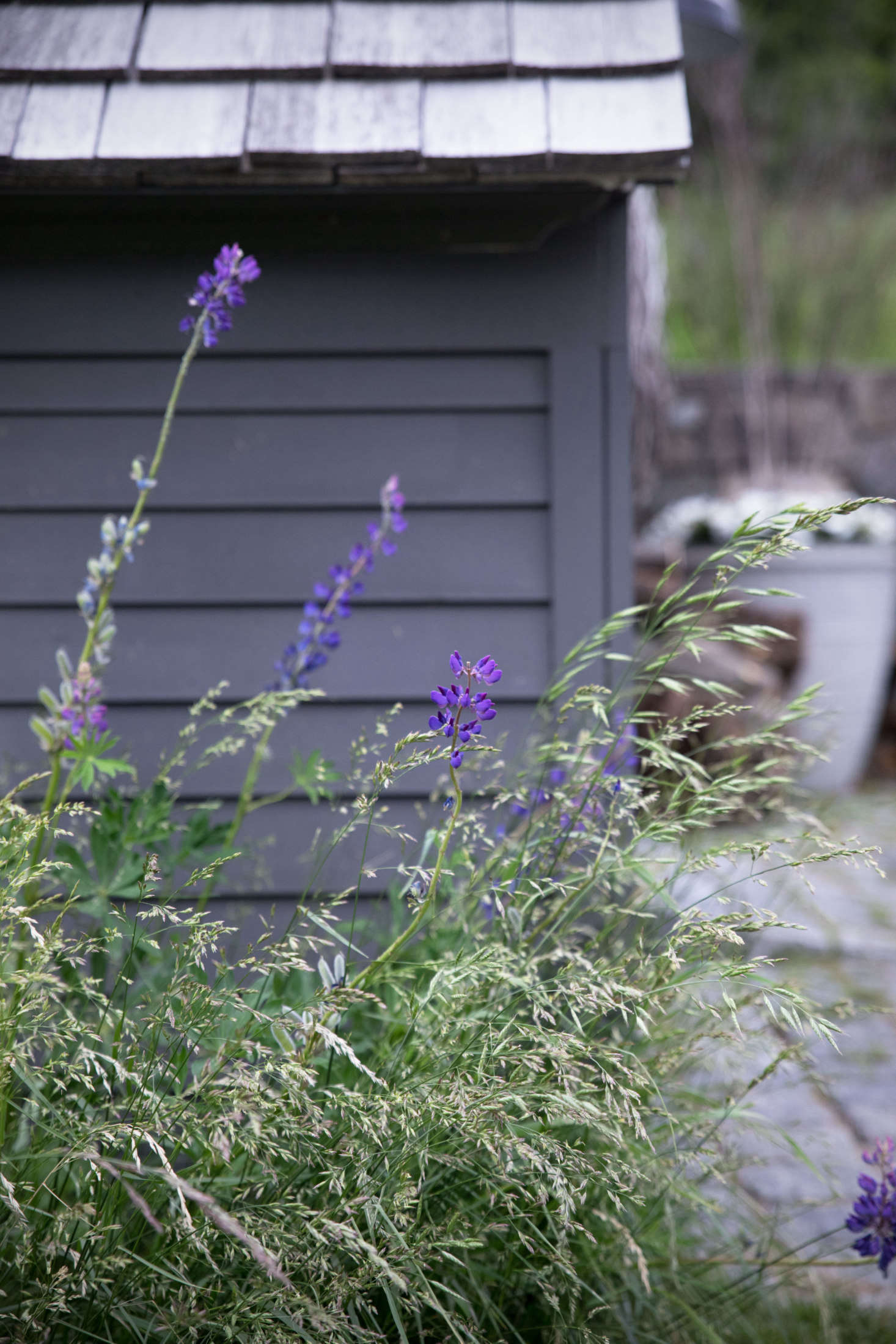 In the early summer, tall purple lupines emerge from the flowing grasses throughout the property.