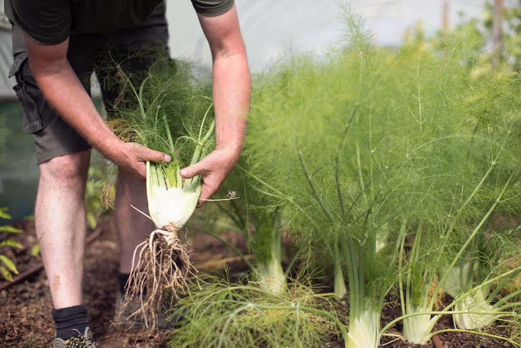 Fennel is grown in abundance at Heckfield Place. The pollen, harvested just before the plant goes to seed, is churned into fennel pollen ice cream.