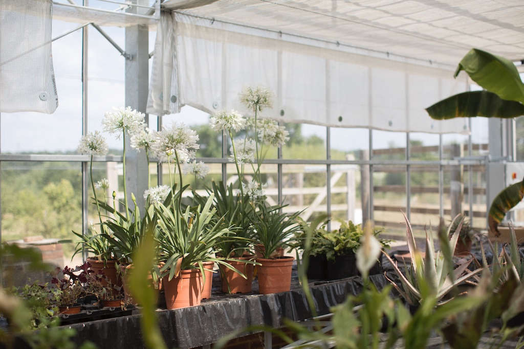 White agapanthus is grown in one of the greenhouses on the estate.