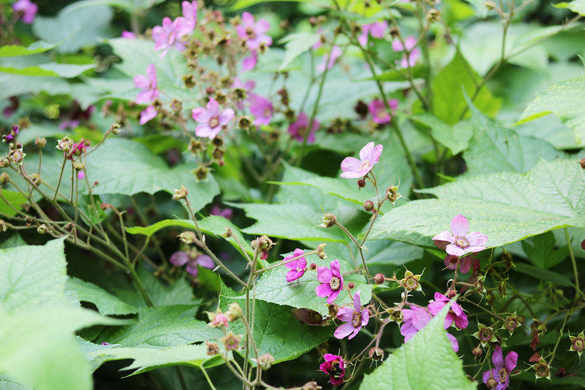 Blooming in early summer, the rose-like flowers of purple-flowering raspberry are exuberantly ornamental, as well as lightly scented. When not in bloom, the maple-shaped leaves distinguish it from the palmately compound and prickly leaves of wineberry, which shares the same habitats.