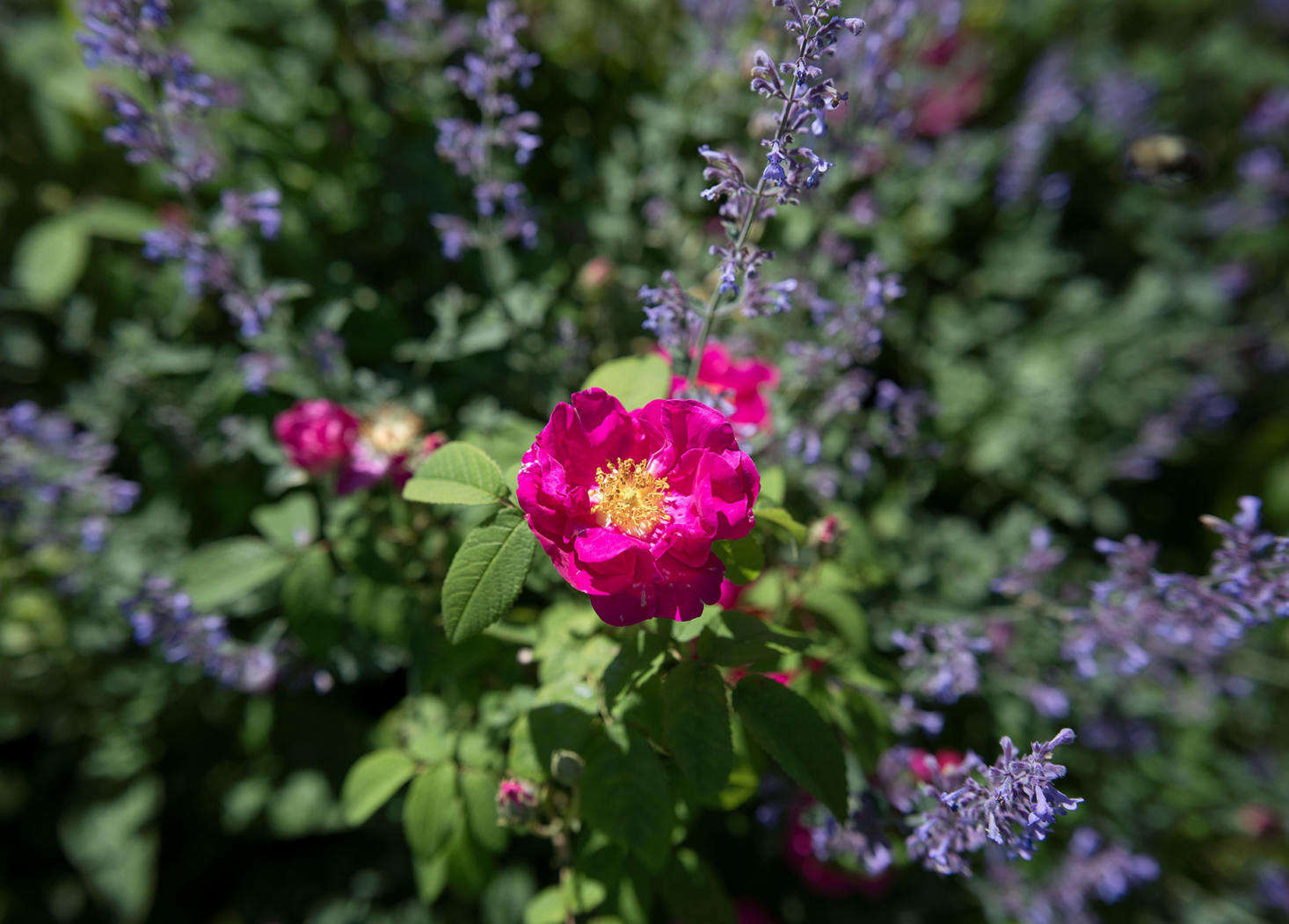 "In the summer a ""hot"" border, in shades of orange, red, and violet comes to life, including Rosa gallica officinalis—known as the apothecary rose, an ancient variety found in medieval gardens—and purple Nepeta &#8"