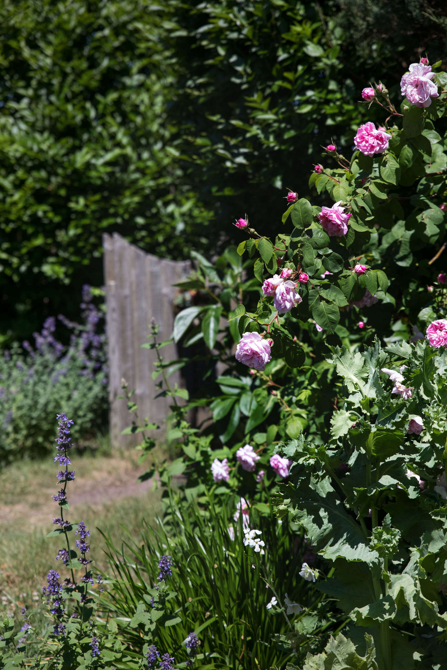 Another heirloom rose, Fantin-Latour, rests on the other side of the privet hedge and gate.