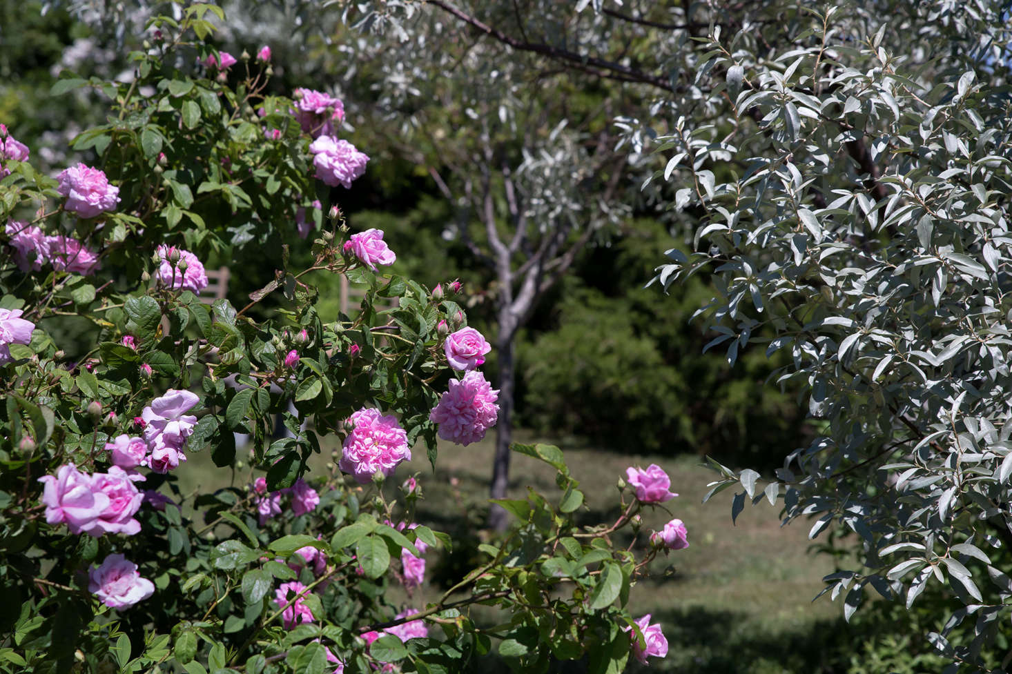 An heirloom damask rose called &#8