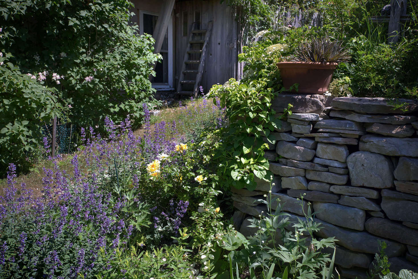 Along the side border path and stone wall, a yellow Leverkusen rose merges with purple Nepeta &#8