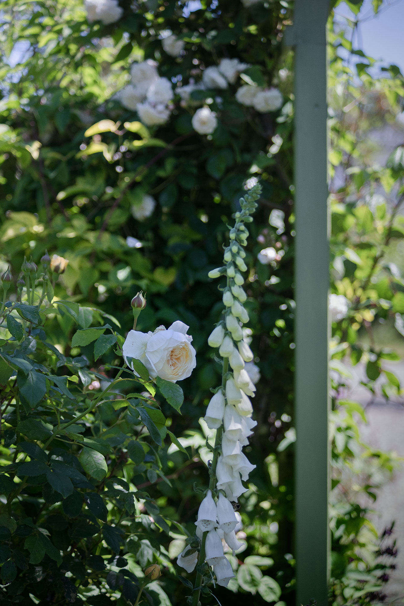 "A soft yellow Claire Austin rose and white foxglove frame the archway in early summer. The rose on the arbor in the background is ""Baltimore Belle,"" an heirloom rambler dating to 43."