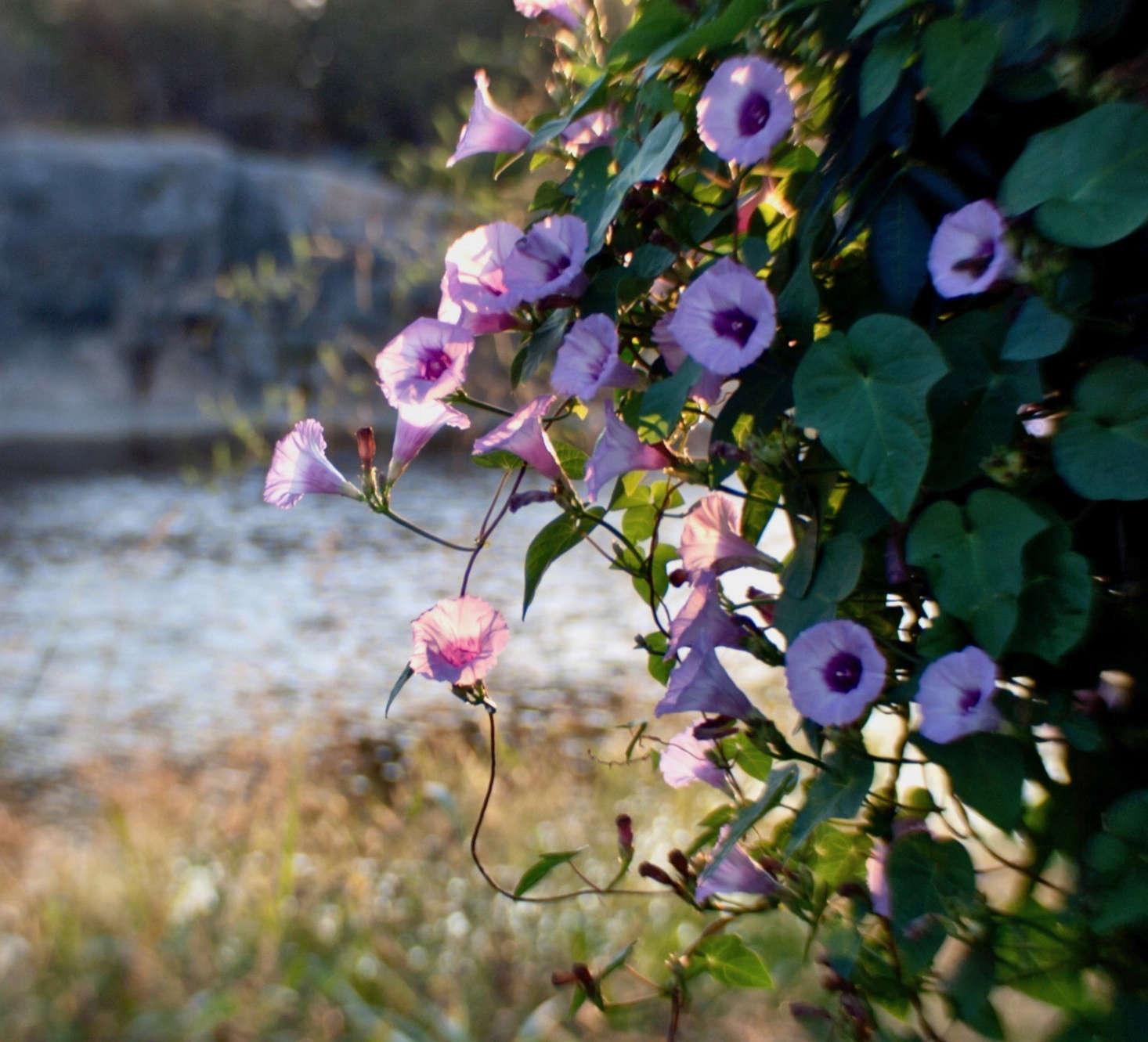 Gardening 101 Morning Glory Gardenista