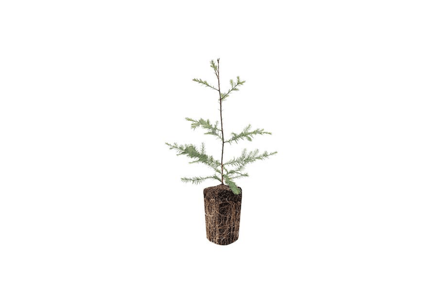 A Charlie Brown Christmas Tree That Can Change Your Life - Gardenista