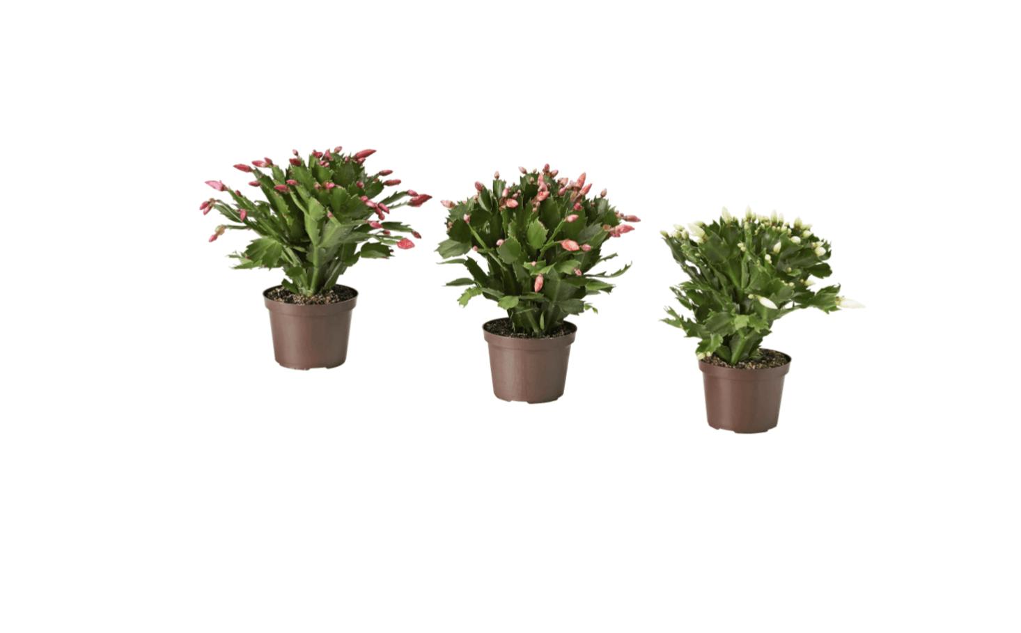 包括其他包括葡萄的植物,包括玫瑰和玫瑰玫瑰,包括粉色的草莓植物。