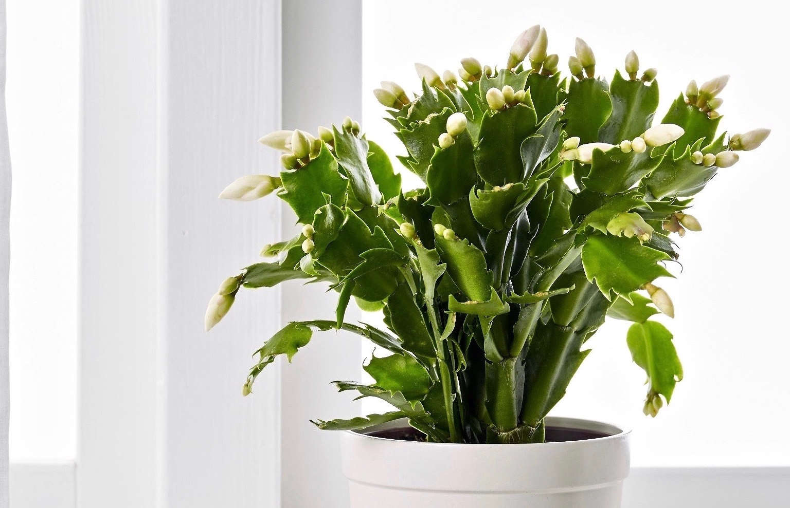 When Do Christmas Cactus Bloom.Christmas Cactus A Houseplant That Will Change Your Life