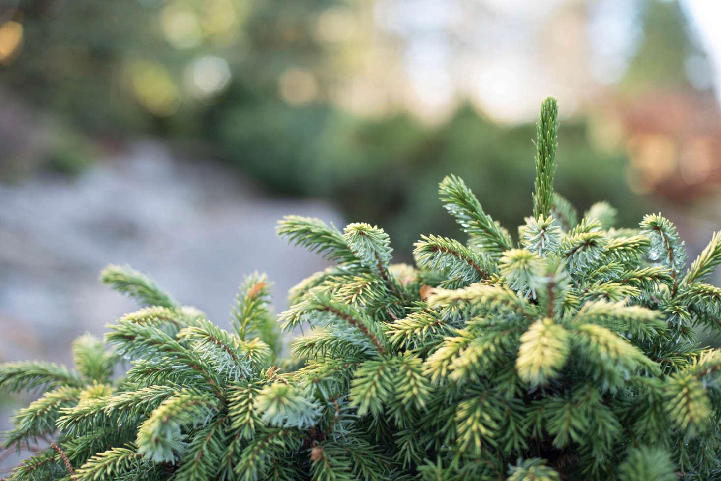 Gardening 101: Fir Tree