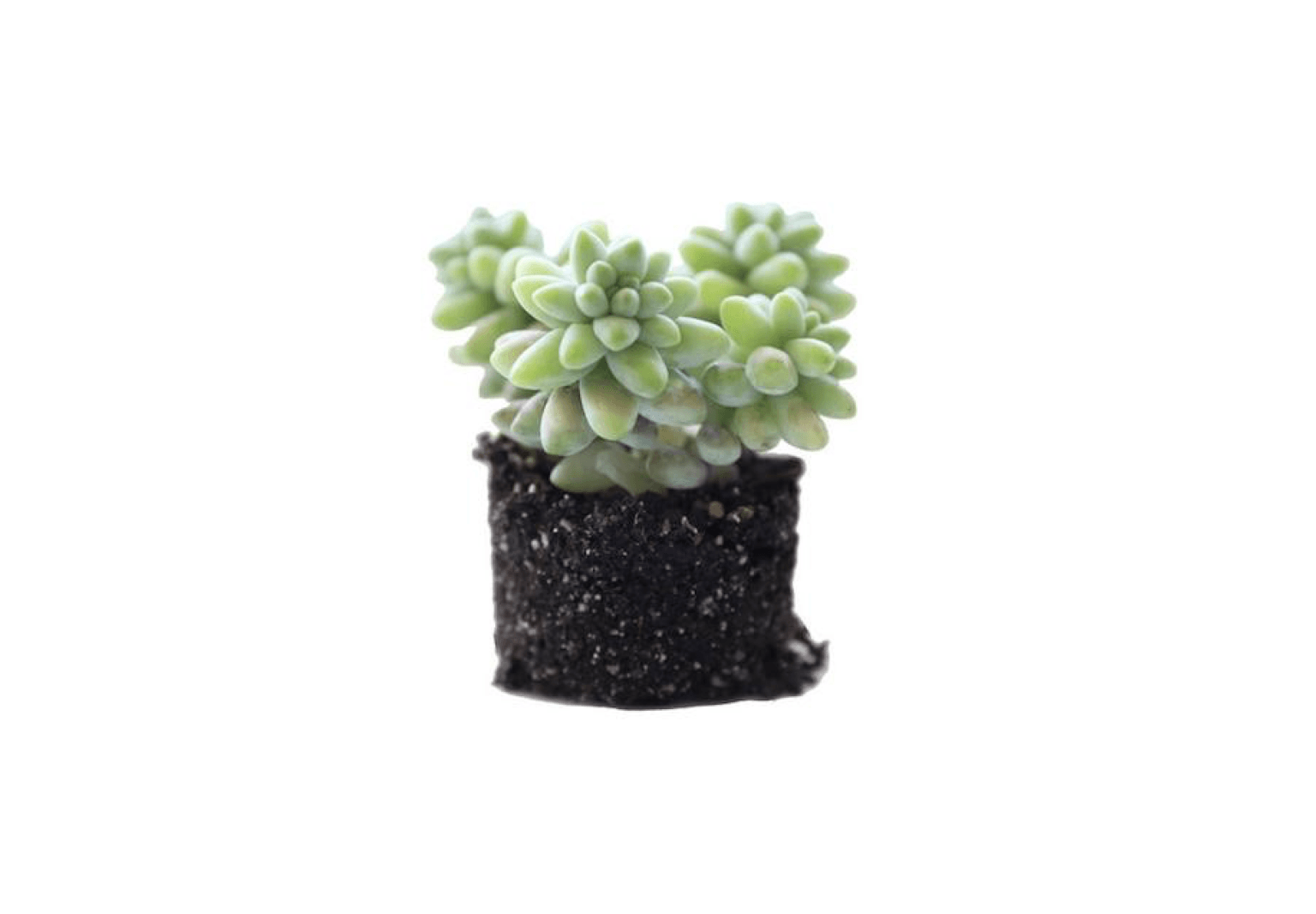 One Sedum Burrito Donkey Tail Cactus Succulents Seeds Bonsai HOT