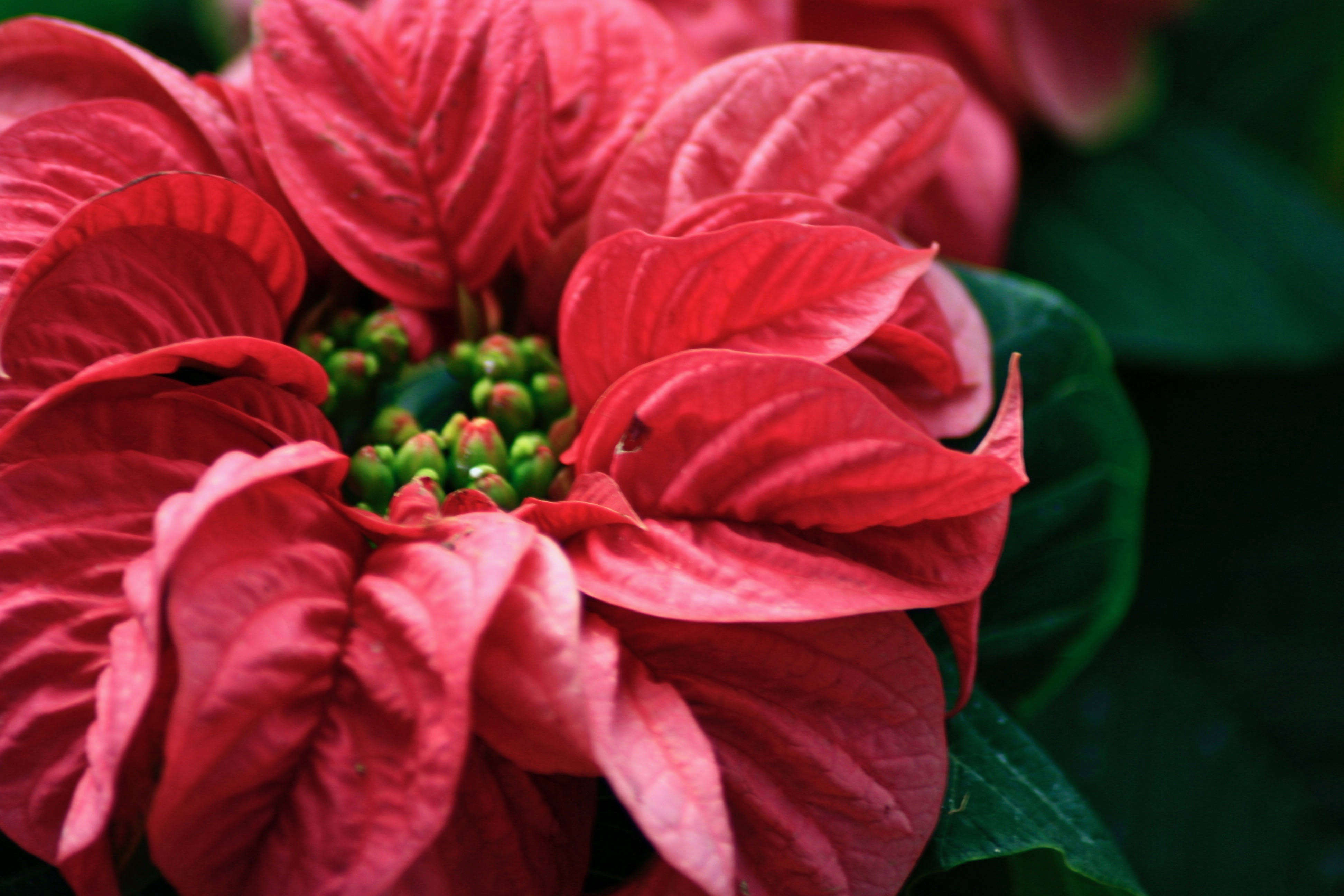 10 Things Nobody Tells You About Poinsettias Gardenista