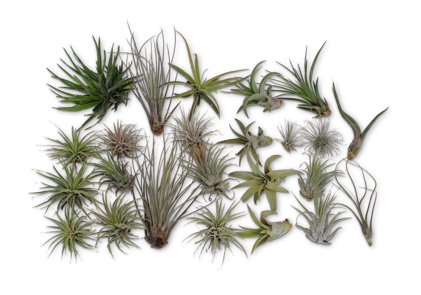 10 Things Nobody Tells You About Air Plants Gardenista