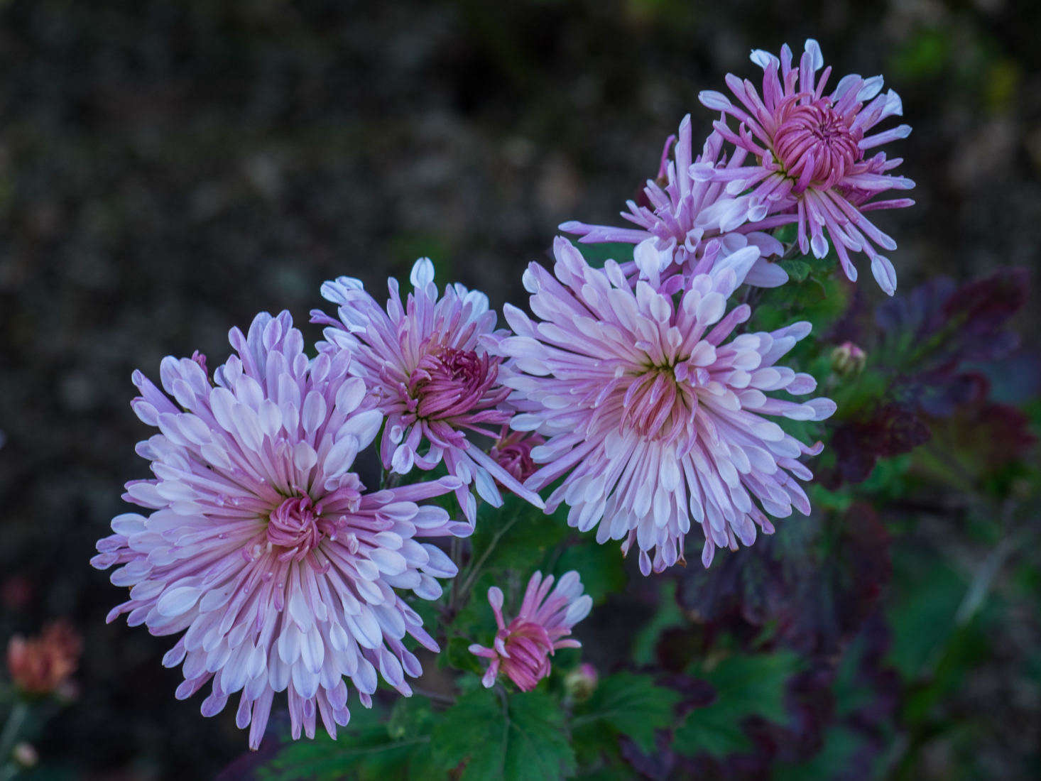 Photograph by F.D. Richards via Flickr, from Gardening 101: Chrysanthemums.