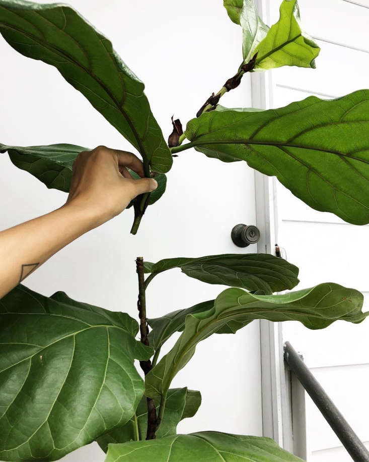 10 Things No Tells You About Fiddle-Leaf Fig Trees ... on cutting back tomato plants, pinching back house plants, cutting back spring flowers, cutting back iris plants, cutting back bushes, trimming back house plants, cutting back geraniums, cutting back angel wing begonia, cutting back ornamental grasses,