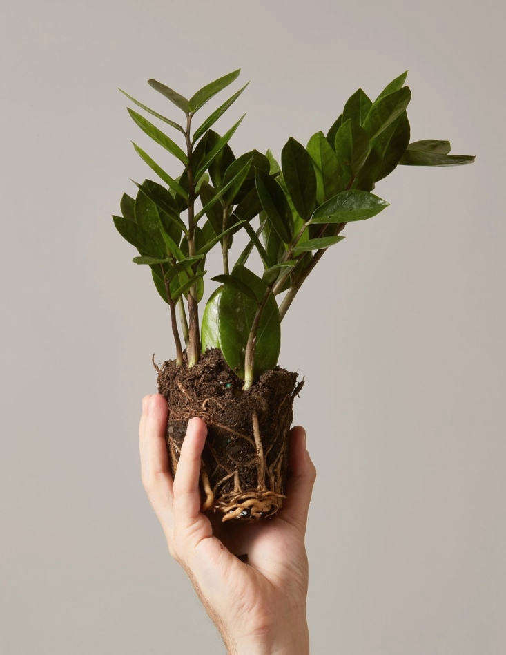 10 Things No Tells You About Trendy Houseplants - Gardenista on home depot gifts, home depot balloons, home depot food, home depot shrubs, home depot birthday, home depot wedding, home depot orchids, home depot fountains, home depot flowers, home depot herbs,