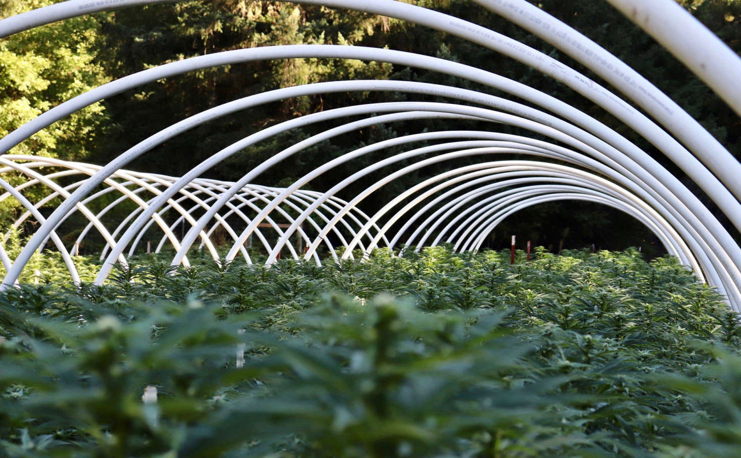 Cannabis grows in a hoop house in Humboldt county, California. Photograph by Brian Shamblen via Flickr.