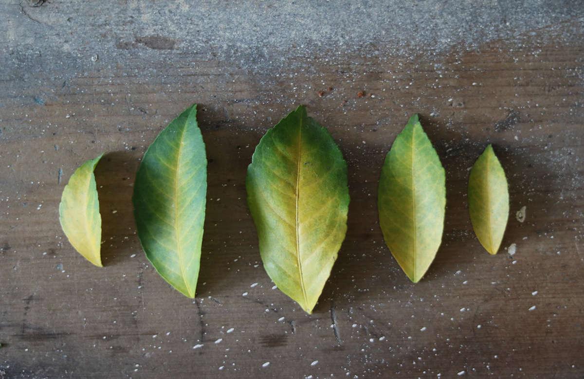 静脉显示,含有肺叶的含量会导致低脂肪……树叶快消失了!树叶倒下了。叶子应该是绿色健康。