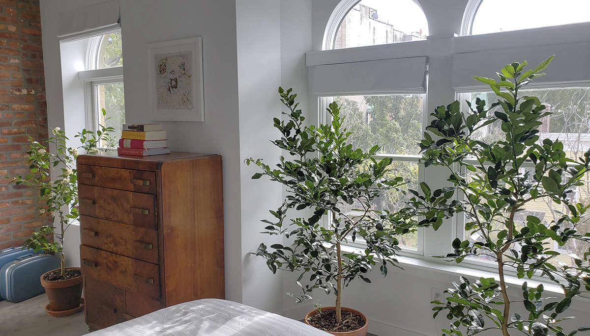 14 Things Nobody Tells You About Indoor Citrus Trees Gardenista