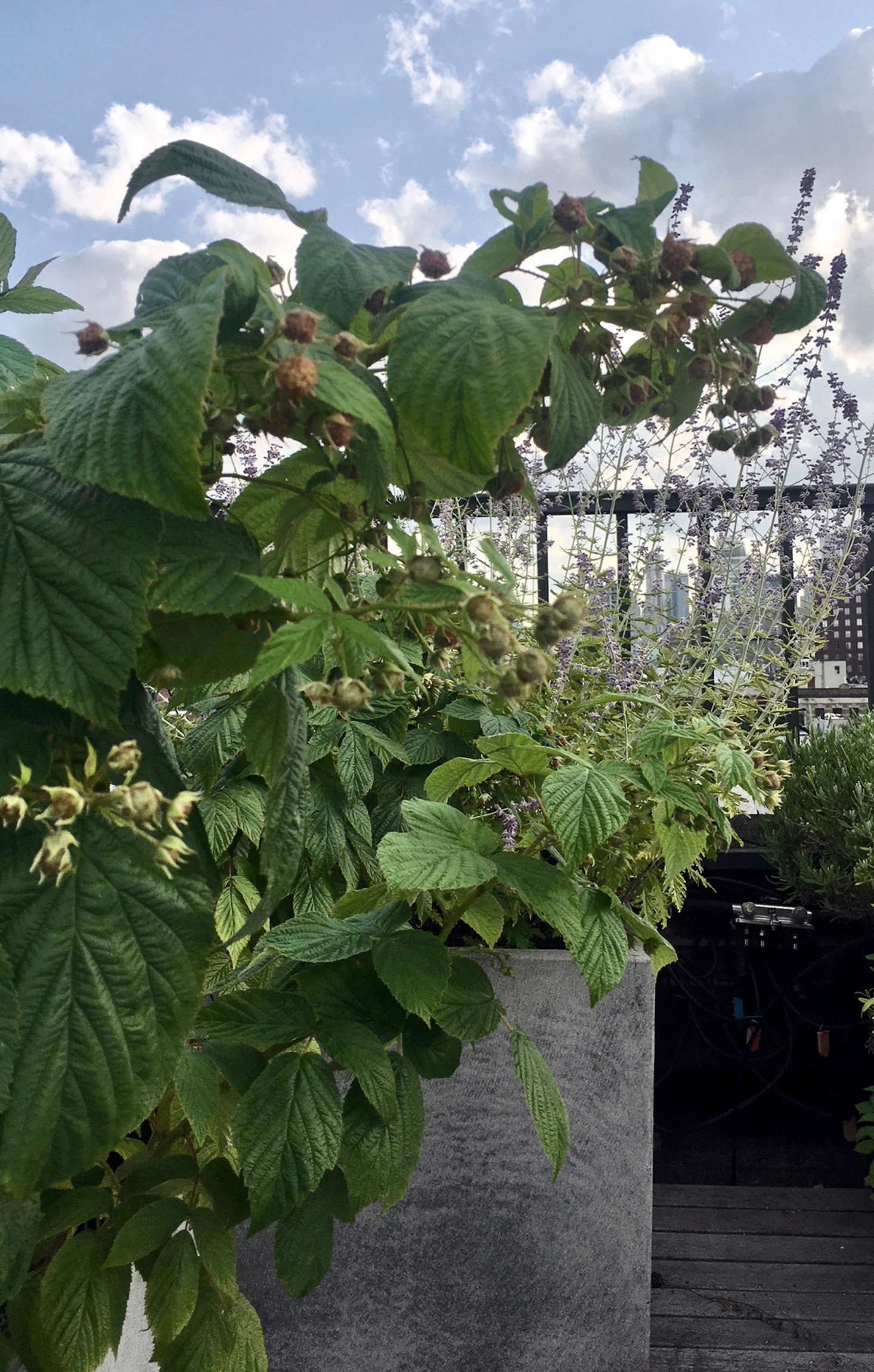 Raspberry bushes in containers produce fruit and grow high enough to conceal the roof&#8