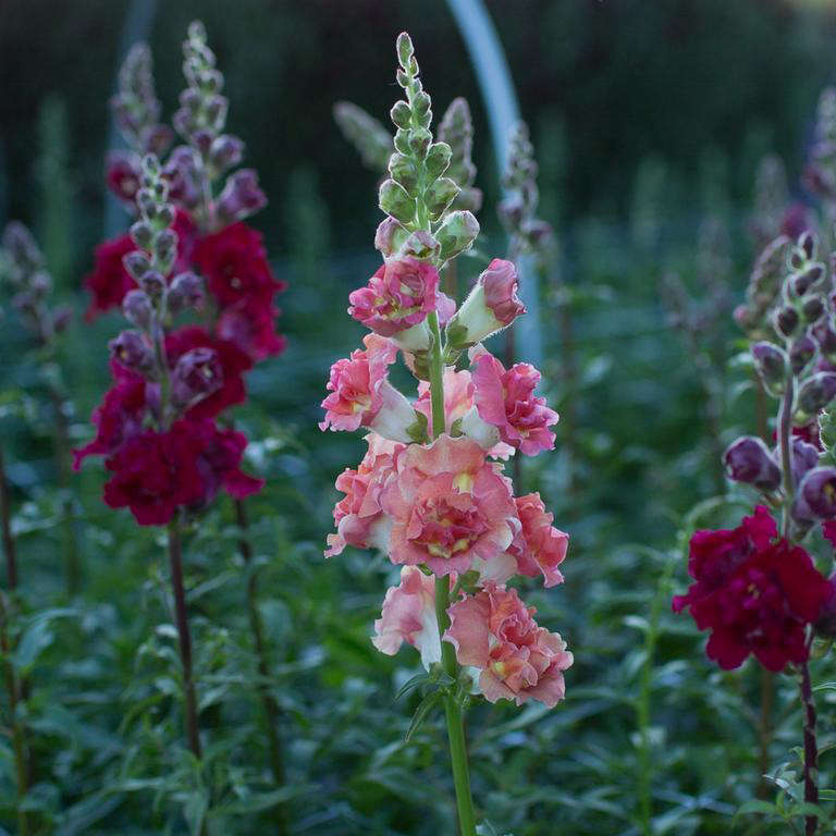 A packet of 100 seeds of Snapdragon Madame Butterfly Bronze is available seasonally from Floret Flowers. Add your name to the waiting list at Floret Flowers.