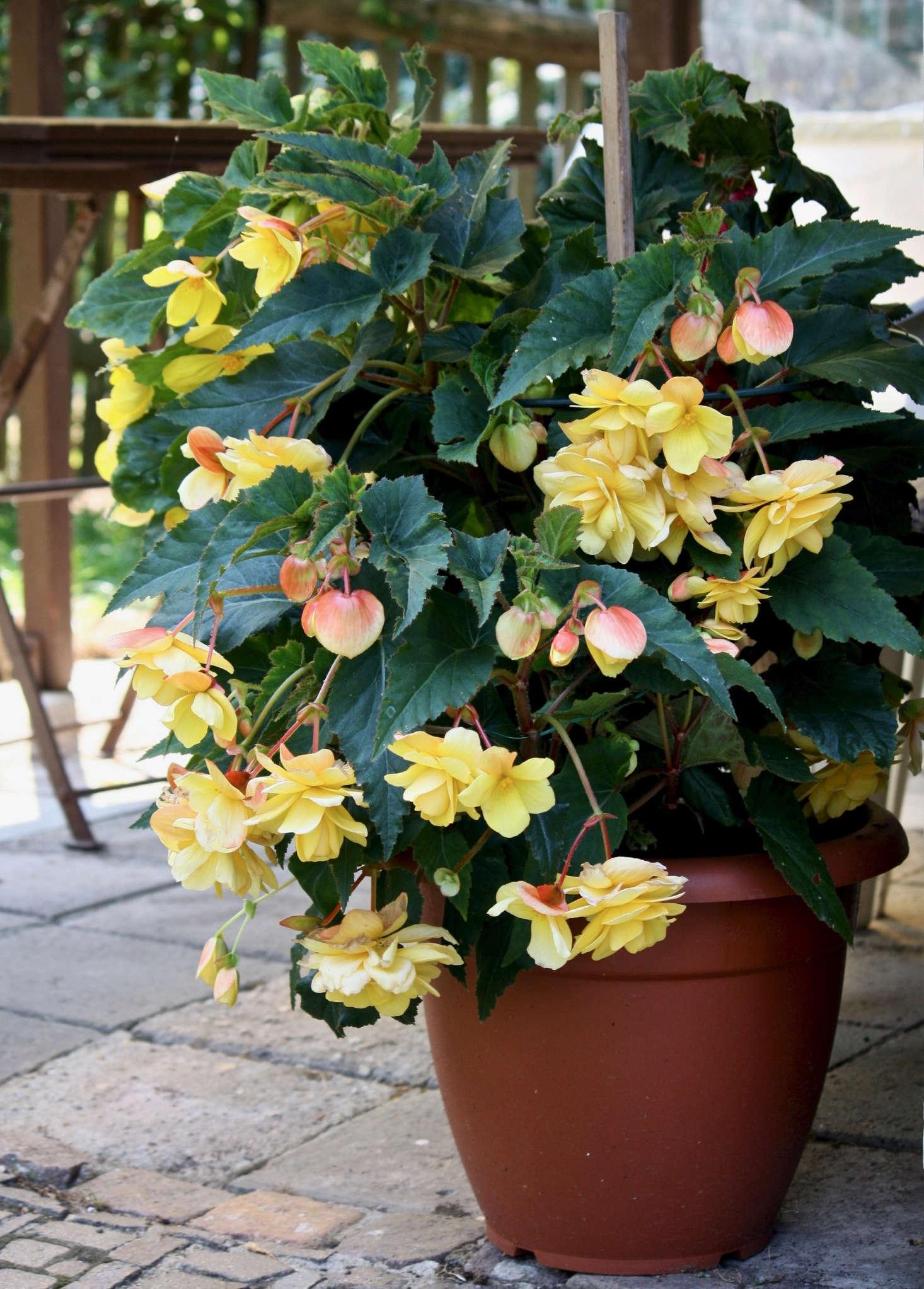 Gardening 101 Tuberous Begonias Gardenista