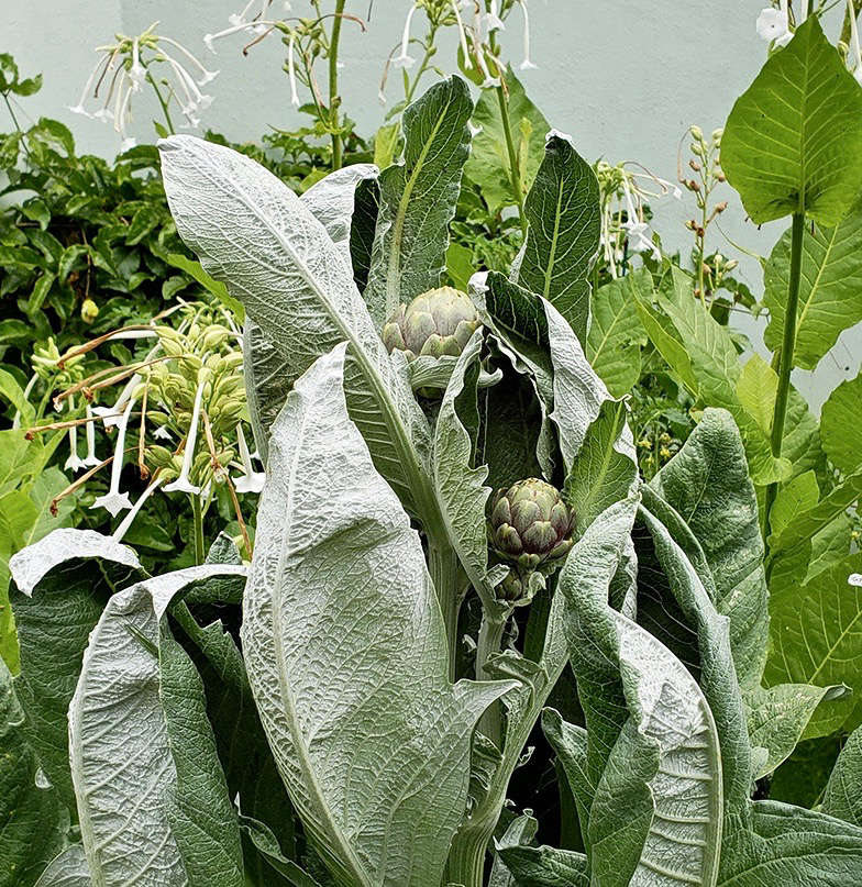 Cardoon plants are regal and svelte, with silver leaves and giant midribs. Before they set buds (which look just like artichoke; they are very closely related), their main appeal is their sculptural foliage.