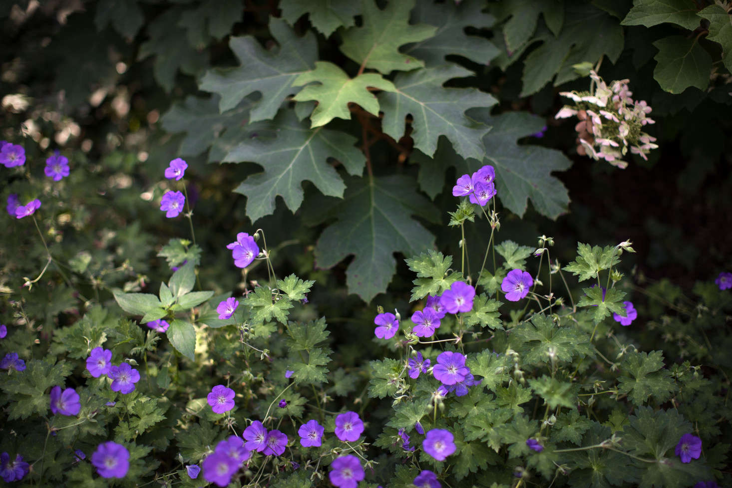 Perennial flowers and shrubs such as these cranesbill geraniums and oak-leaf hydrangea provide a textured transitional border between the lawn and woodlands.