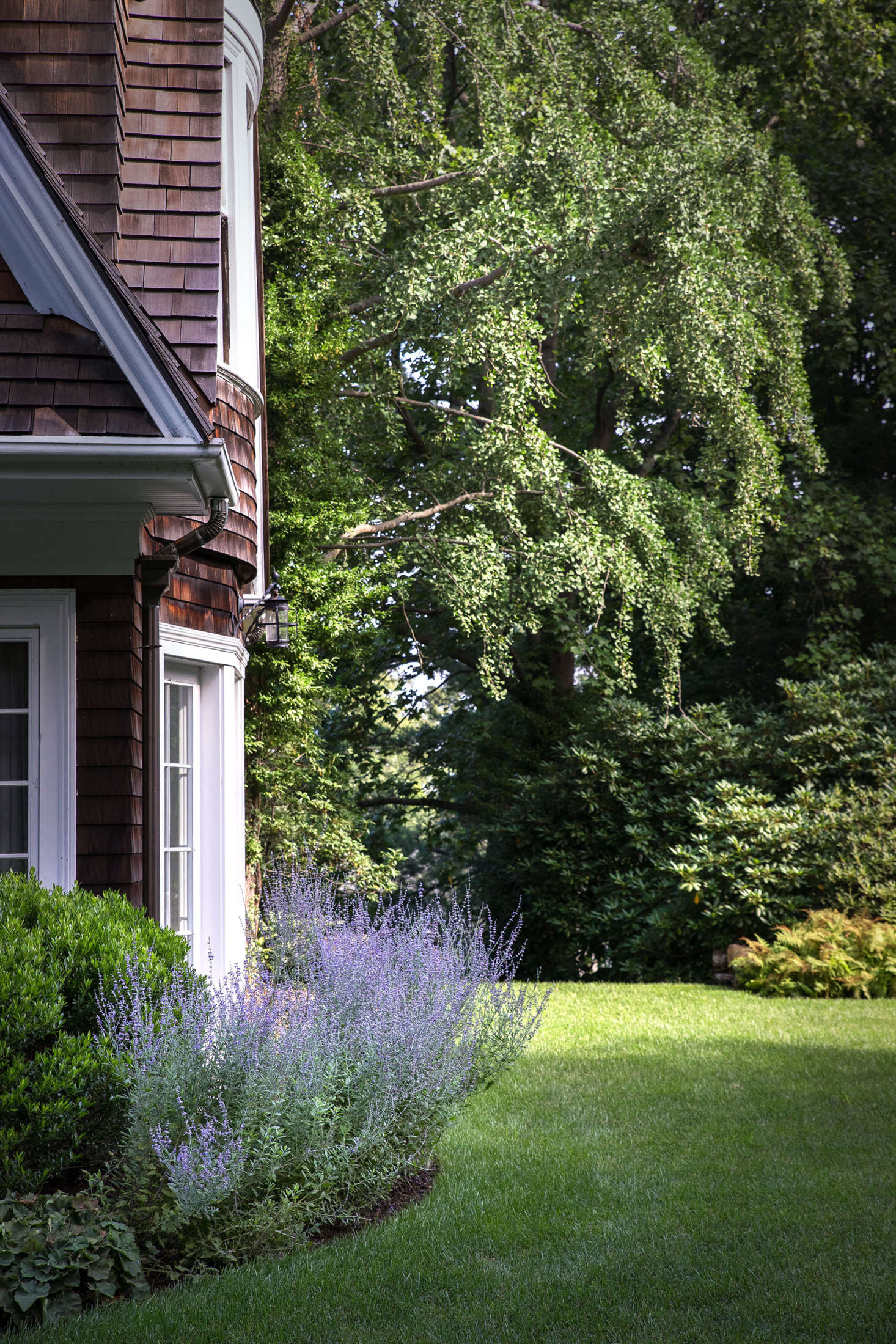 Russian sage grows in a bed that leads around the corner of the house towards the front of the property.